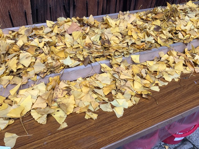 御金神社 イチョウの葉